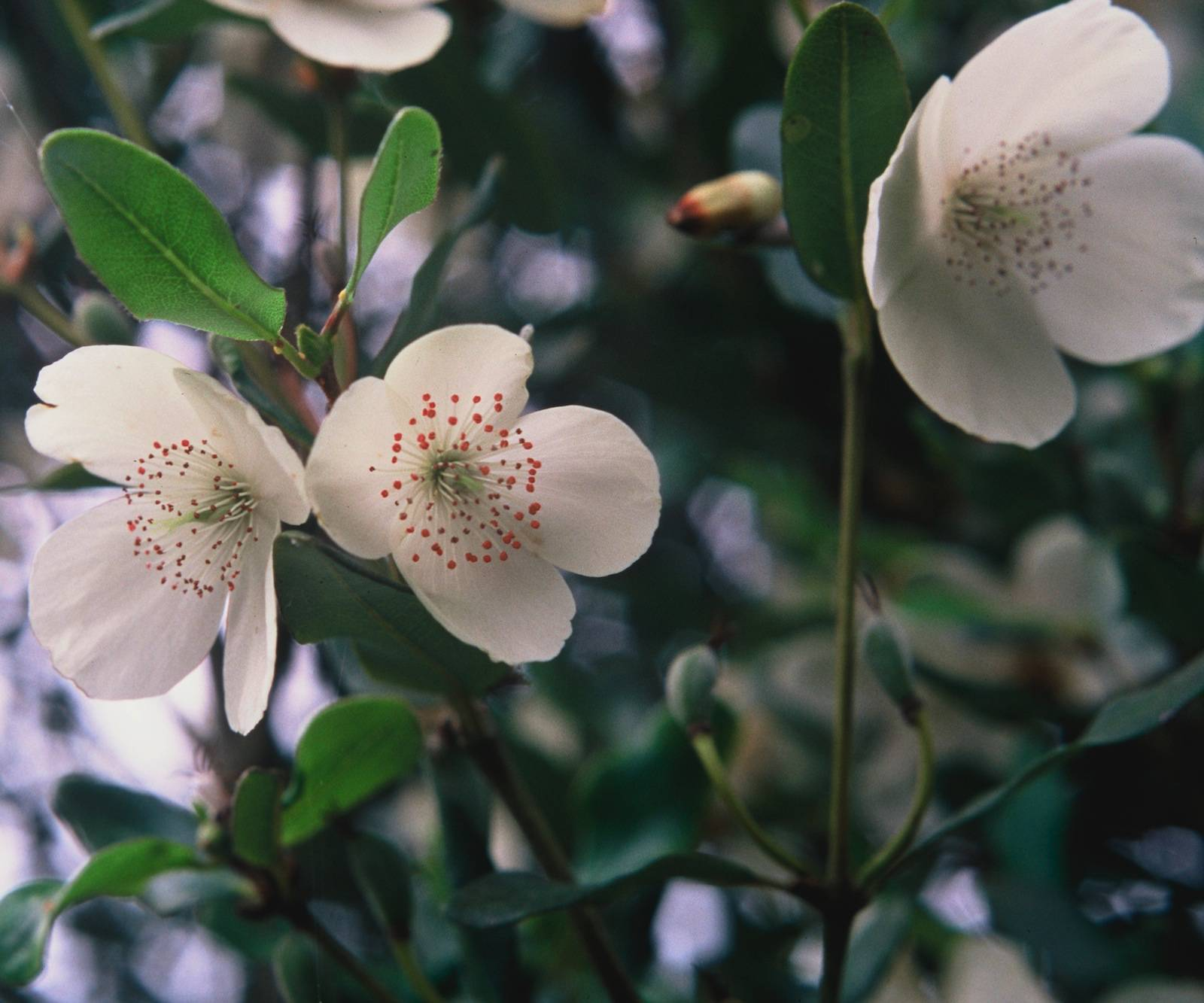 Eucryphia lucida - Leatherwood - Flowers. photos by https://www.whitehousenursery.com.au/trees-and-shrubs/display/467-eucryphia-lucida-tasmanian-leatherwood